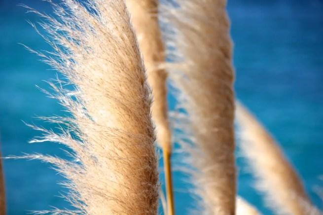 Big Sur Wheat Grasses