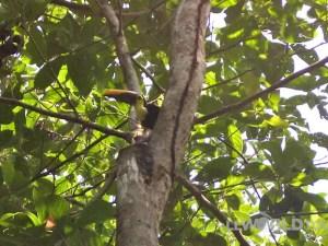 Toucan in Corcovado