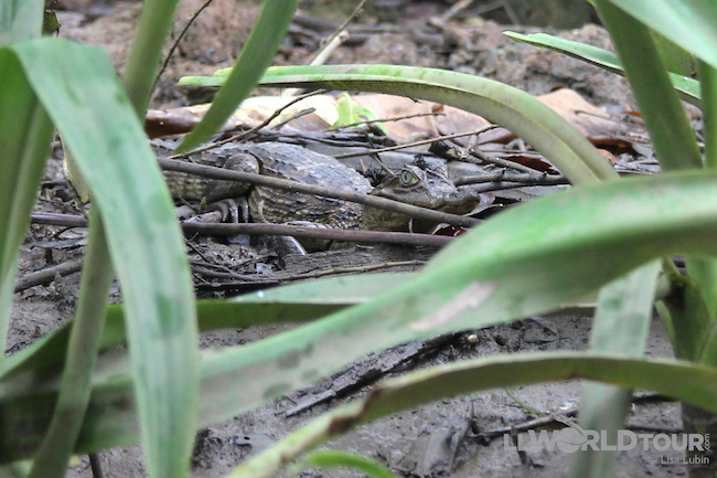 Mini-Croc in the Mangroves!