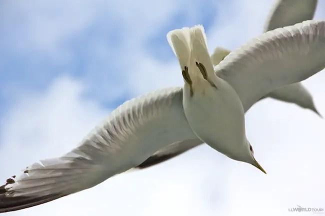 Seagull Body