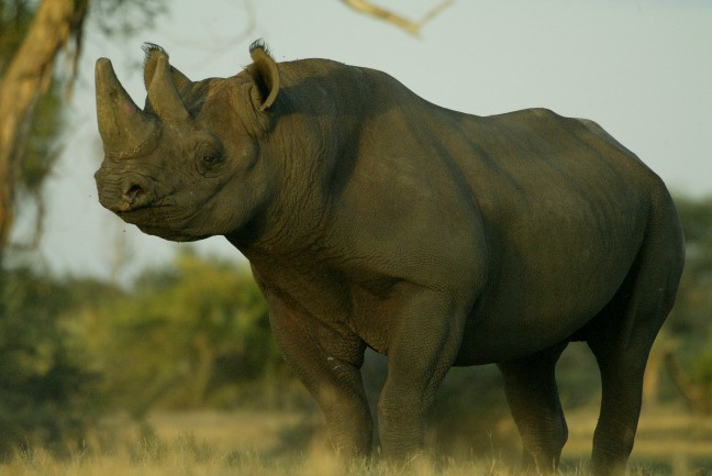 black-rhino-Beverly-Joubert