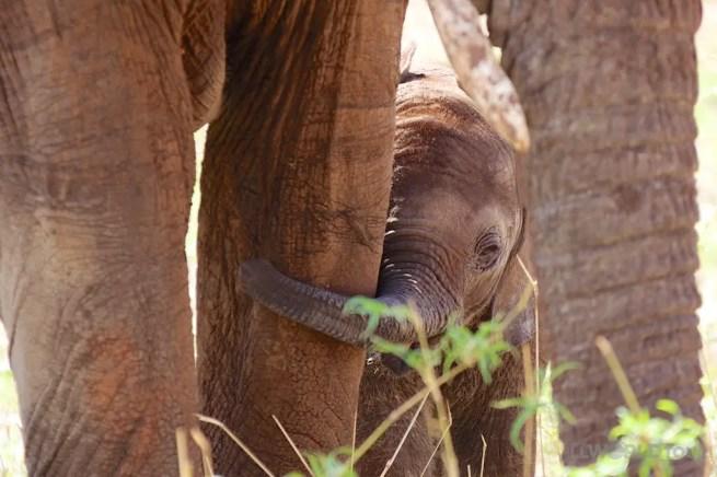 Baby Elephant Tanzania