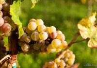 Wandering the German Wine Route