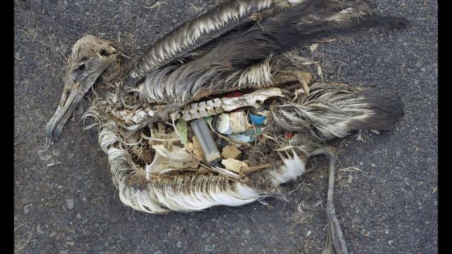 Albatross killed by plastic