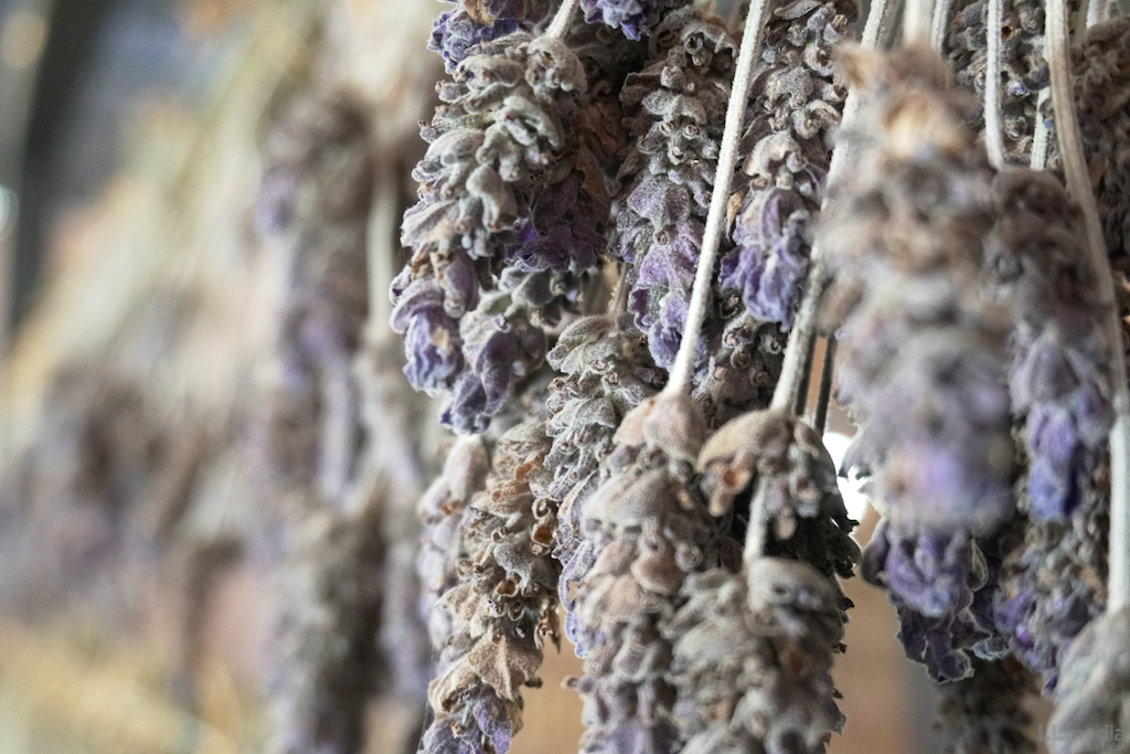 Lavender at San Lucas Winery