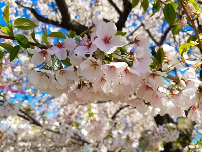 Newark Cherry Blossom