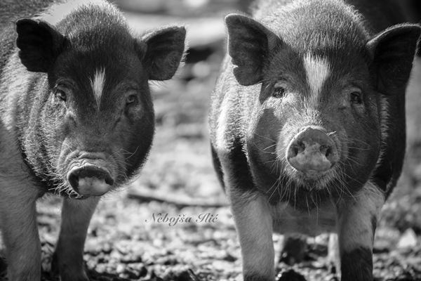 Nebojsa Ilic Photography - Slika 03 - Vijetnamski prasici farma na Kovilovu (5-ca profili )