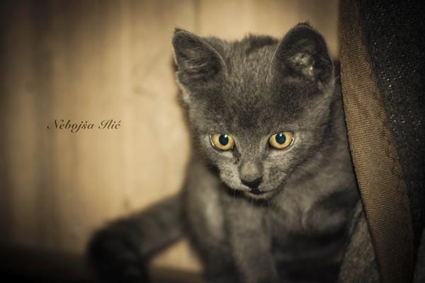 Nebojsa Ilic Photography - Slika 10 - Sivi Macak iz Studia