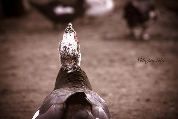 Nebojsa Ilic Photography - Slika 11 - Curan nadgleda Farma