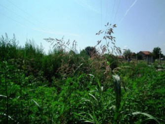 Ambrozija i korov u Borči