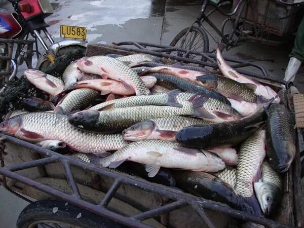 Pomor ribe Vizelj Borča