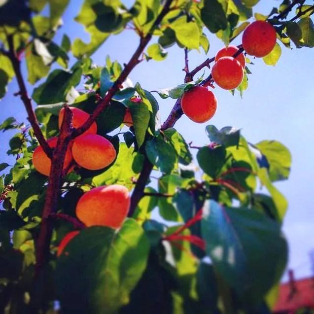 Borčanski plodovi :D — in Borca.