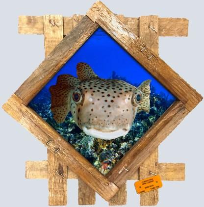 Pufferfish in wood frame