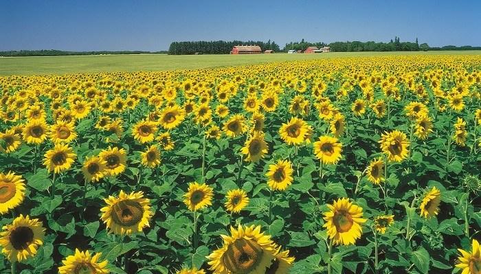 sunflower rotation reasons
