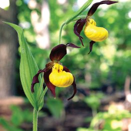 "Yellow ladyslippers have greenish brown sepals and petals and a yellow ""slipper"" with a few brown or reddish-purple spots."