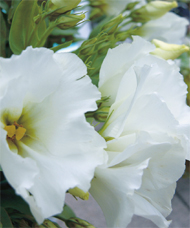 garden design with white lisianthus