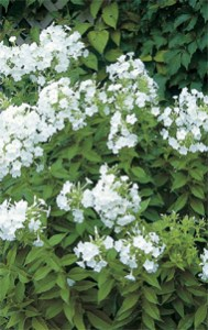 garden design with white phlox