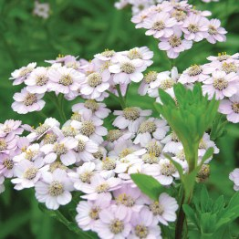 Yarrow flowers, flat-topped clusters above fern-like, fuzzy leafed stems, attract butterflies and bees.