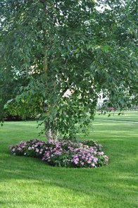 A dainty birch is ringed with pink impatiens.