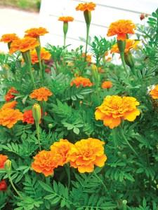 garden bug control marigolds