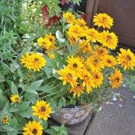 False sunflowers add an explosion of colour.