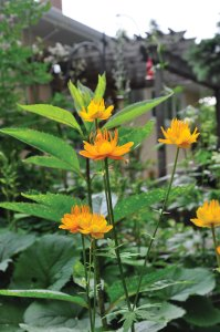 Globe flower (Trollius) love partial shade.
