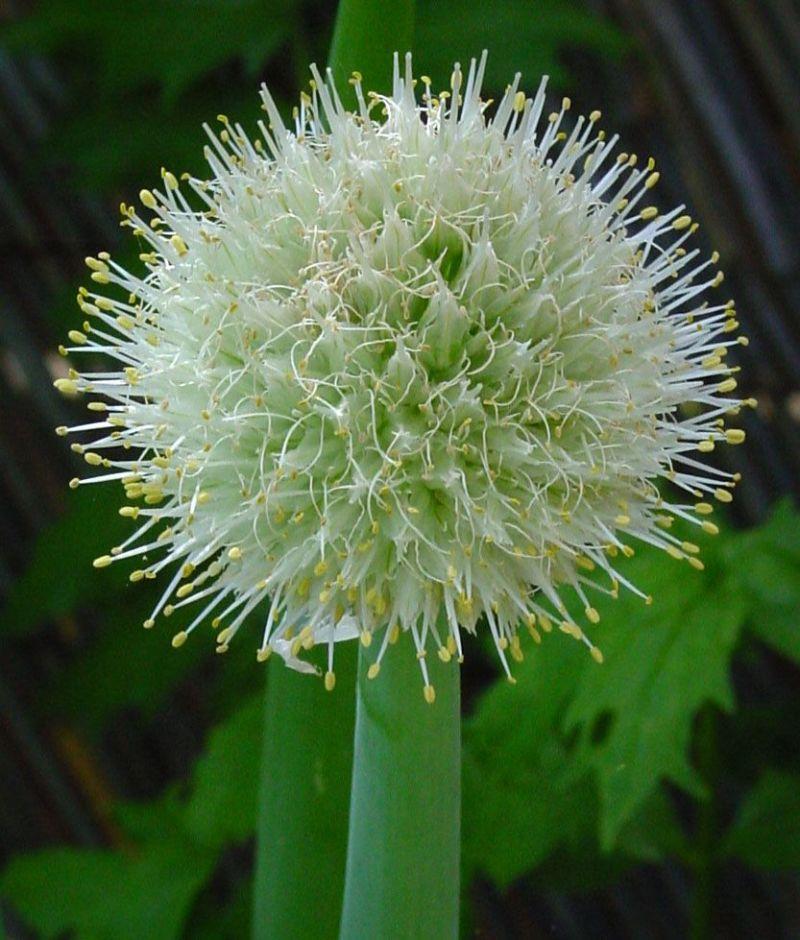 Allium cepa (onion)