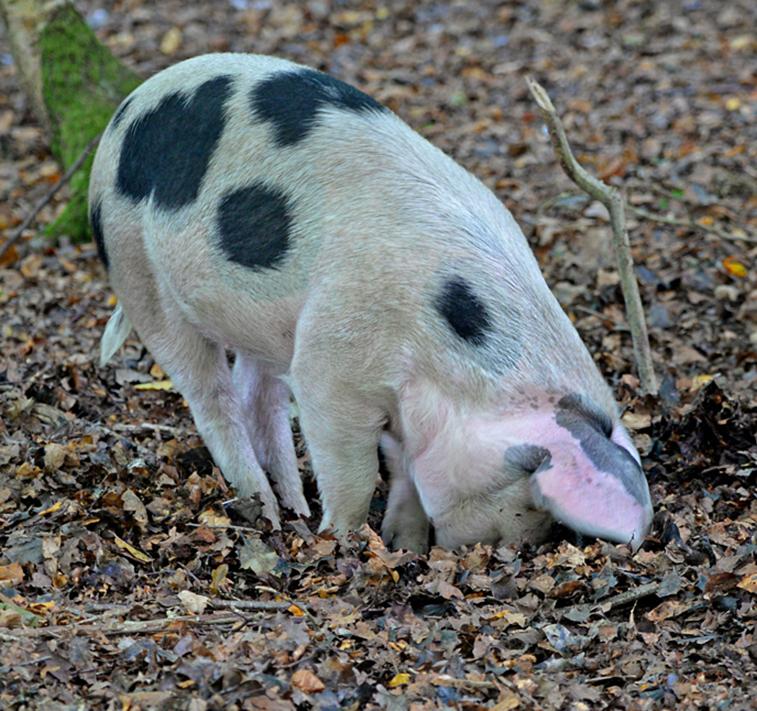 pig rooting