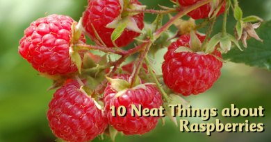 10 Neat Things about raspberries the gardener