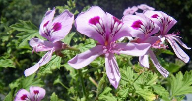 cooking with pelargoniums