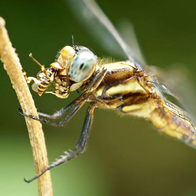 dragonfly eating a wasp