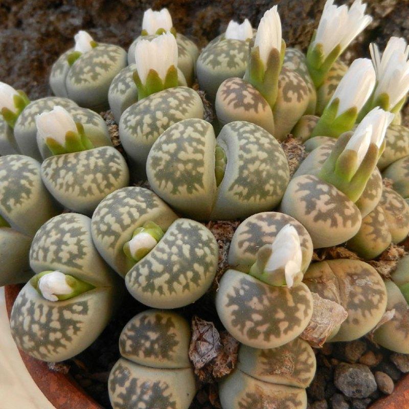 succulents Lithops karasmontana ssp bella