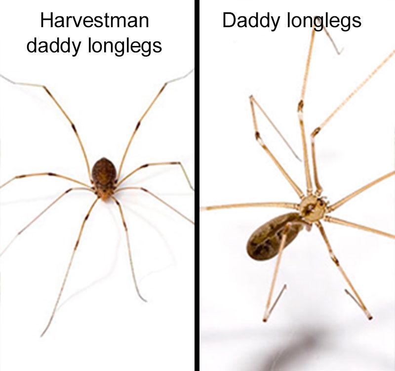 Harvestman vs daddy long leggs spider