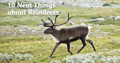 10 Neat Things about reindeers