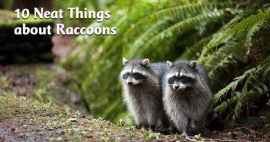 10 Neat things about raccoons