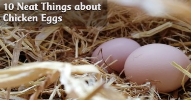 10 Neat Things about Chicken eggs