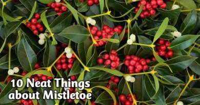 10 neat things about mistletoe