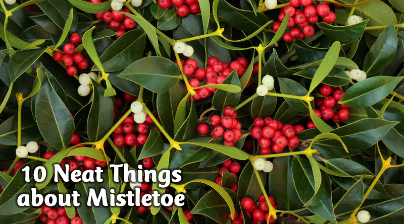 10 neat things about mistletoe