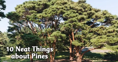 10 neat things about pines