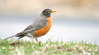 For many the arrival of the American robin is a sure sign spring is on its way.