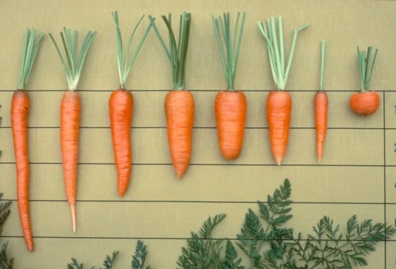 carrot types