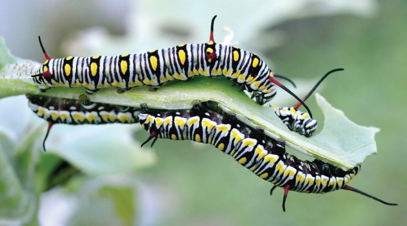 captivating caterpillar