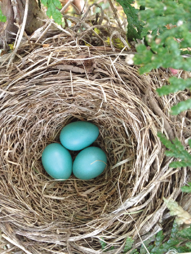 Robin eggs have a distinct baby blue colour.