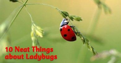 10 neat things about ladybugs