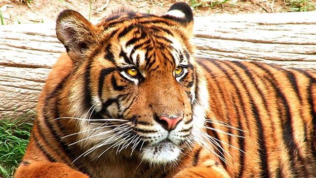Tiger_2089541680449315-159532
