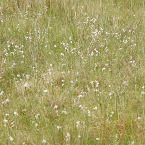 Cotton grass on Balnafettach Farm