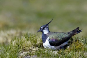 Lapwing on Balnafettach Farm
