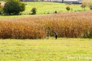Amish trabajando en el campo