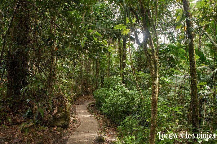 Parque Nacional de El Yunque: Vereda de los Árboles Gigantes