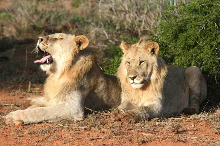 Lions in Moremi Game Reserve.gallery_image.6